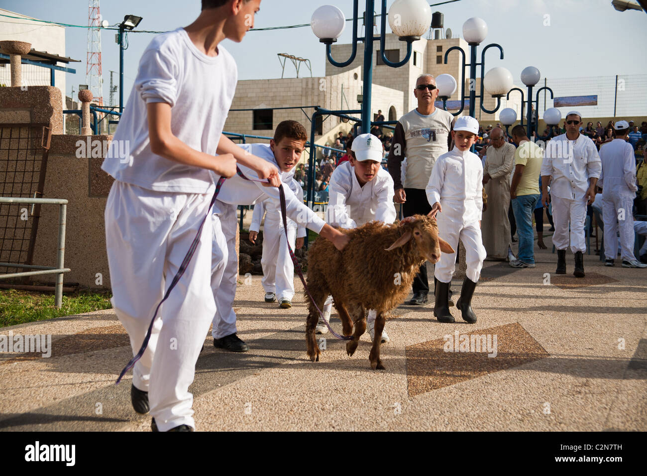 Young Samaritans deliver the lambs soon to be sacrificed for Passover. Mount Gerizim, Israel. 17/04/2011. Stock Photo